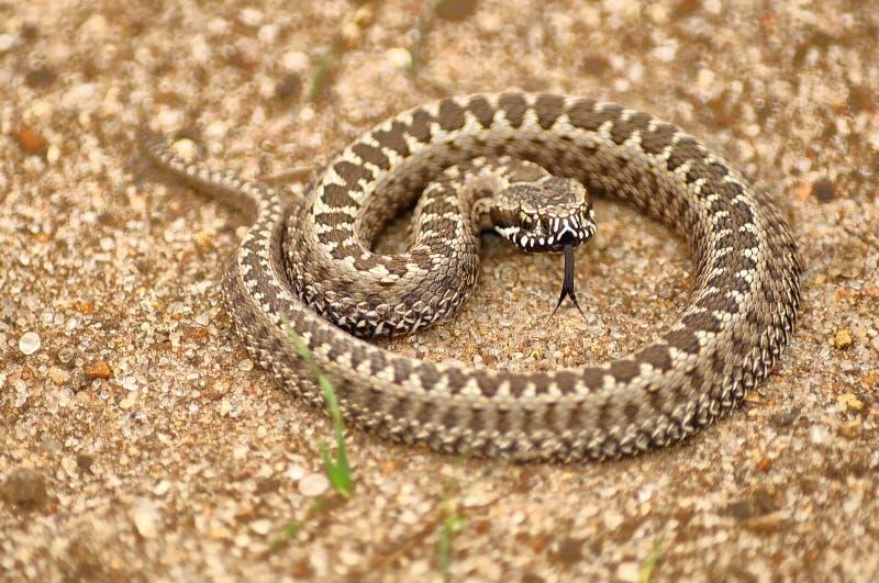 非常小共同的欧洲蛇蝎卷曲了入圆环并且显示了她的舌头 免版税库存照片