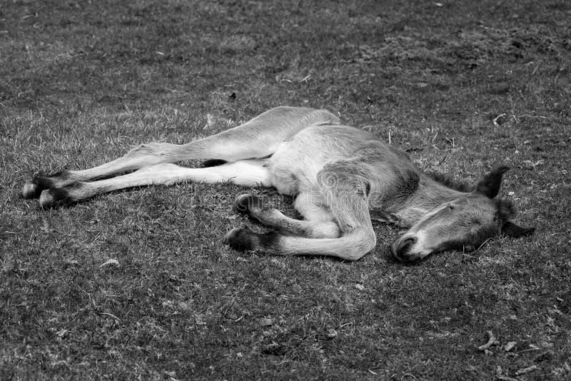 非常年轻美丽和逗人喜爱的狂放的博德明停泊小马 免版税图库摄影