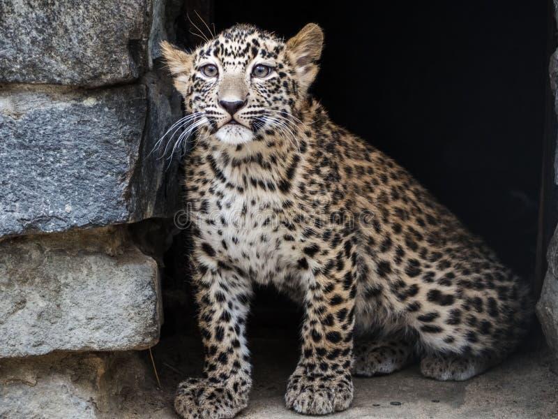 非常幼小猎豹崽的画象在我的房子附近的 免版税库存照片