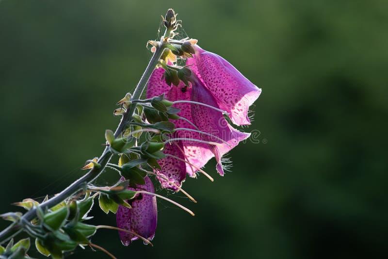 非常接近毛地黄属植物的花 库存图片