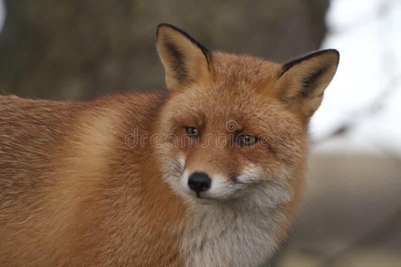 非常接近画象的狐狸 库存照片