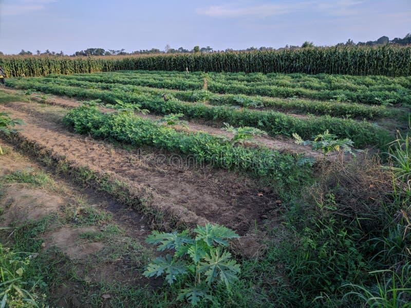 非常早农业 免版税库存图片