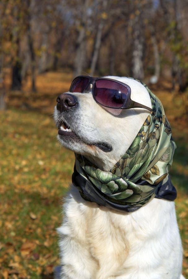 非常时兴的金毛猎犬 免版税库存图片