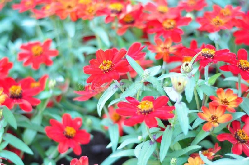非常明亮一的束开花的红色花, 图库摄影