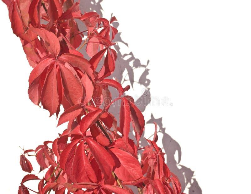 非常明亮的叶子红色 免版税库存照片