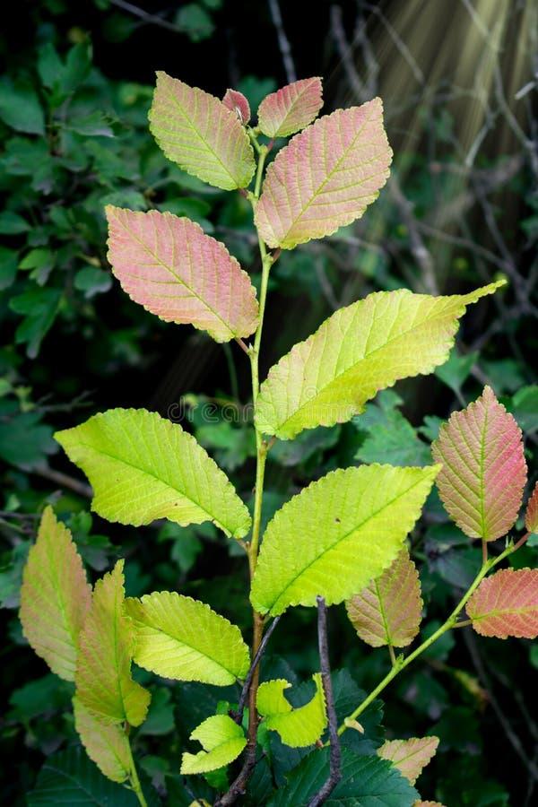 非常树的美丽的叶子,绿色和红色 太阳的光芒穿过叶子 免版税图库摄影