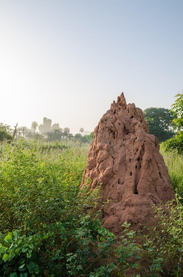 非常站立在清早风景,冈比亚,西非的高草之间的大白蚁小山 免版税库存图片