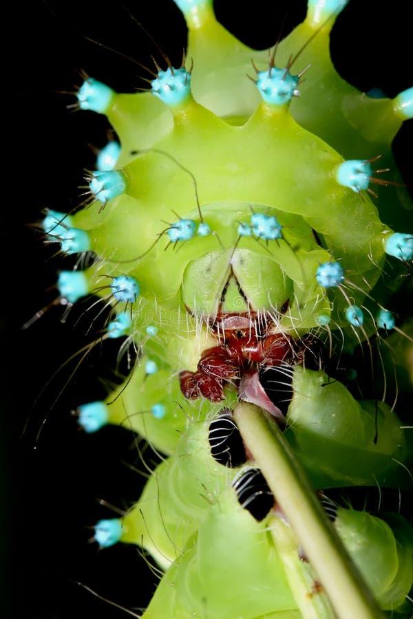非常紧密在黑色隔绝的巨型孔雀飞蛾农神pyri的毛虫片段照片  免版税图库摄影