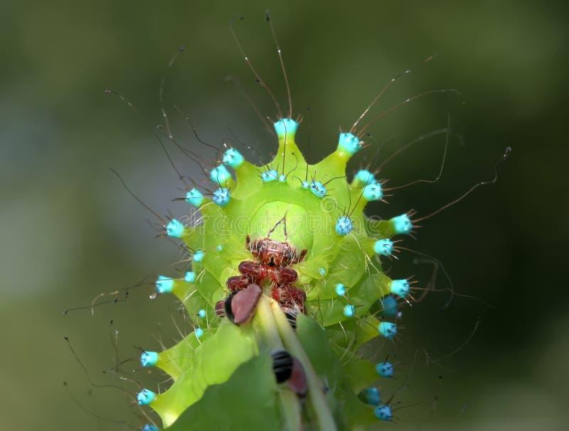 非常紧密巨型孔雀飞蛾的毛虫画象  免版税图库摄影