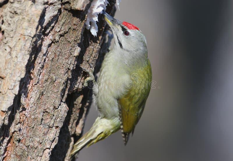 非常紧密灰色啄木鸟画象吃在森林饲养者的猪肉油脂 免版税库存图片