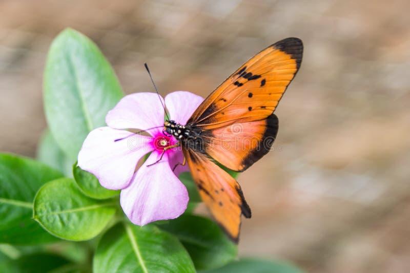 非常美丽和大蝴蝶 坦桑尼亚 图库摄影