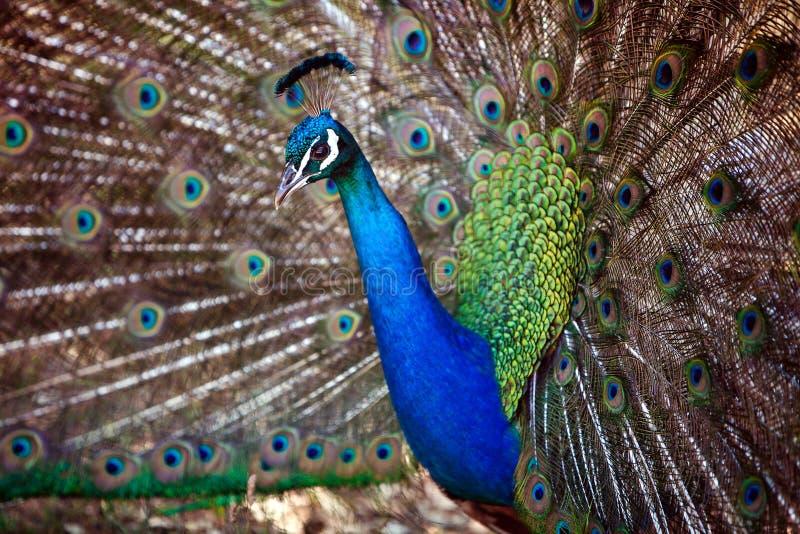 非常美丽的明亮的蓝色孔雀被出错的尾巴 免版税库存照片