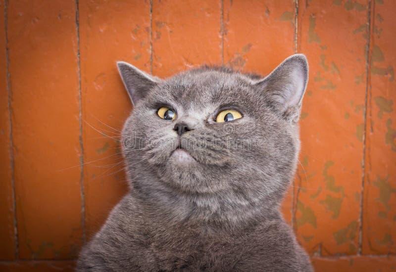 非常美丽的英国猫在地板和在家休息上说谎 免版税图库摄影
