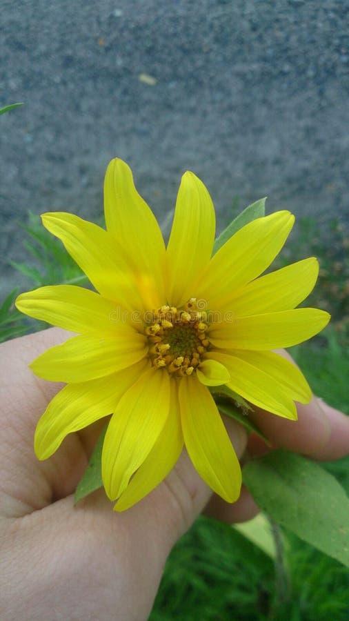 非常美丽的黄色花,向日葵 免版税图库摄影