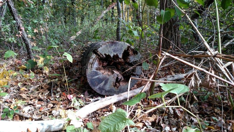 非常老结构树 库存照片