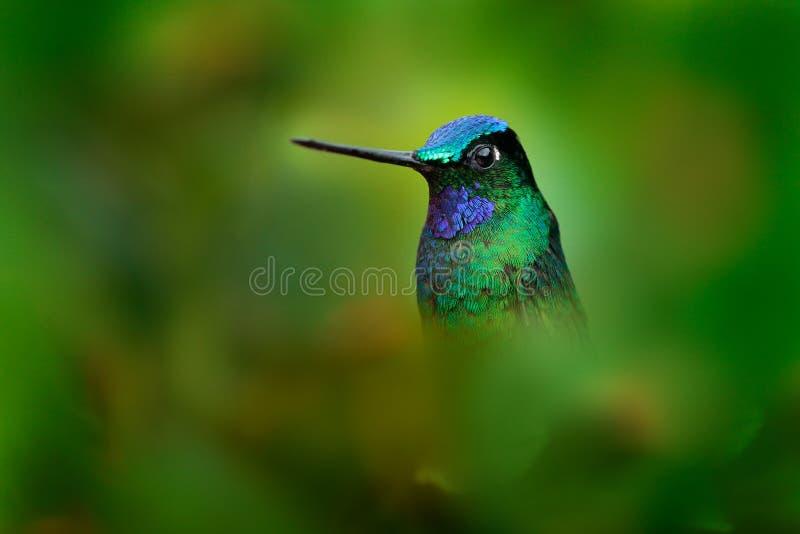 非常蜂鸟详细的画象白盯梢了Starfrontlet, Coeligena phalerata,有深绿背景,哥伦比亚 敌意 免版税图库摄影
