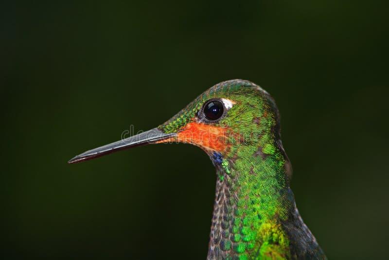 非常蜂鸟,女性紫色红喉刺莺的Moutain宝石, Lampornis calolaema详细的画象,有深绿背景,肋前缘 免版税库存照片