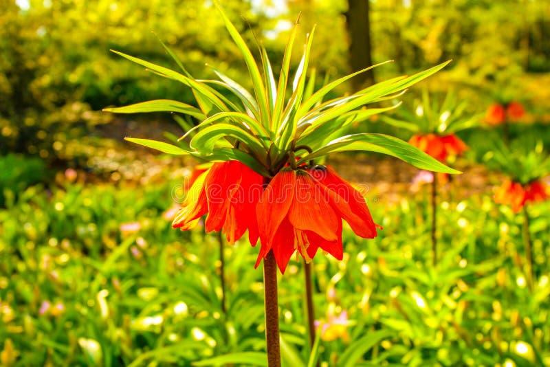 非常象响铃的好和美丽的郁金香在前景 库存图片