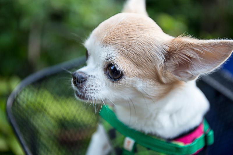 非常软的焦点奇瓦瓦狗狗 库存照片