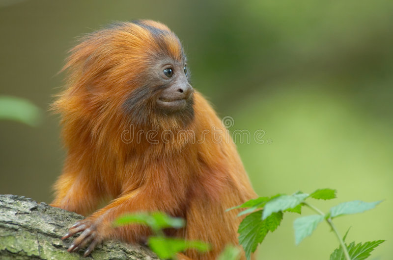 非常逗人喜爱的猴子红色 图库摄影