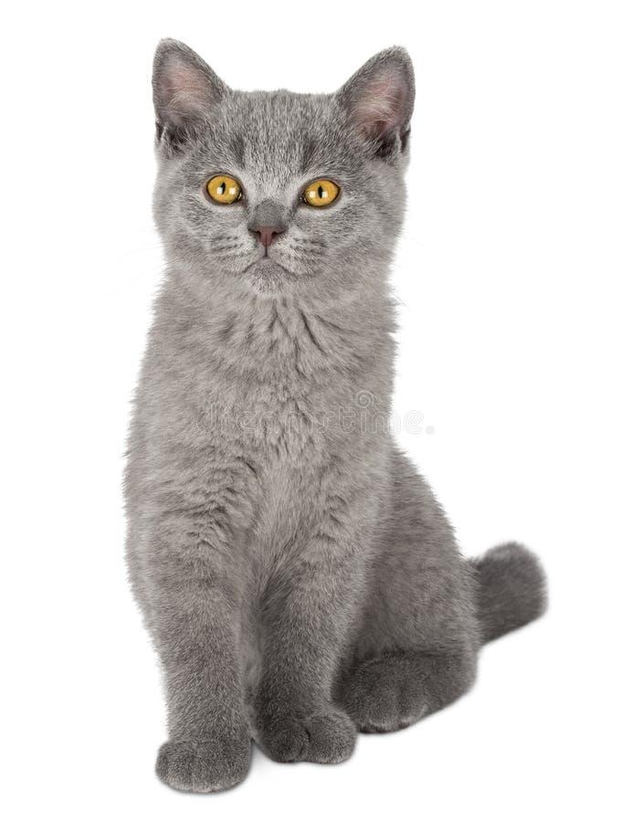 非常逗人喜爱的蓝色英国shorthair小猫 库存照片