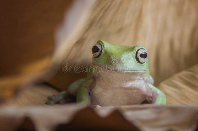 非常逗人喜爱的青蛙 免版税库存照片