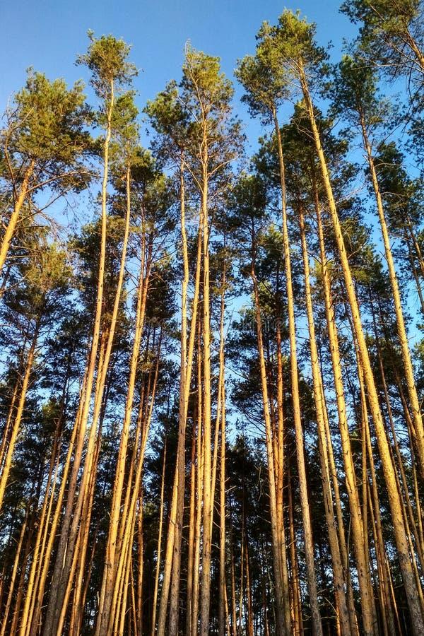非常高大的树木在森林里 库存图片