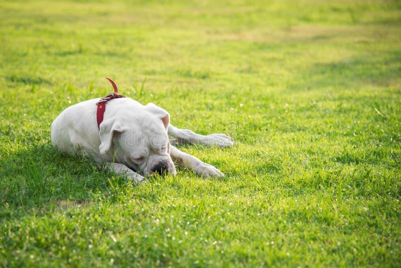 非常说谎在绿草的疲乏的白色狗 库存照片