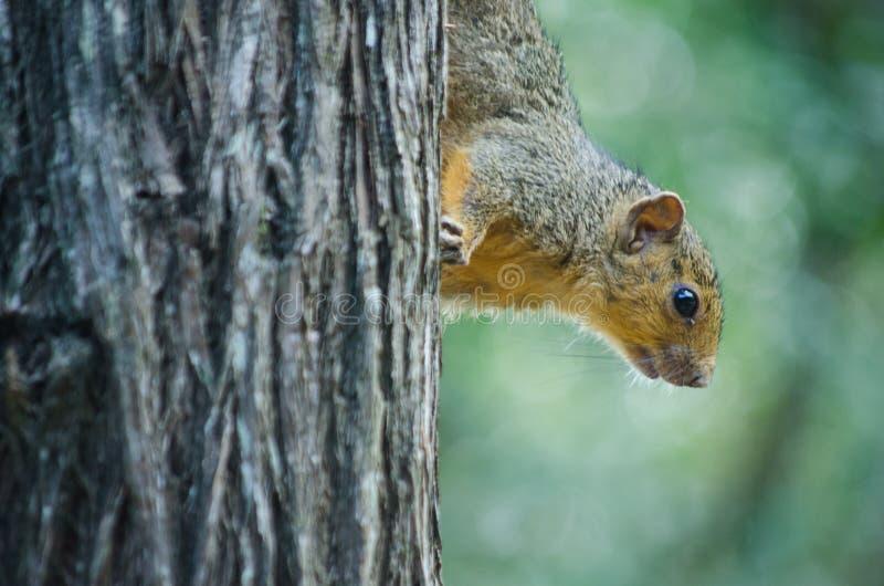 非洲上树灰鼠的特写镜头在树干的 圣卢西亚,南非 免版税库存图片