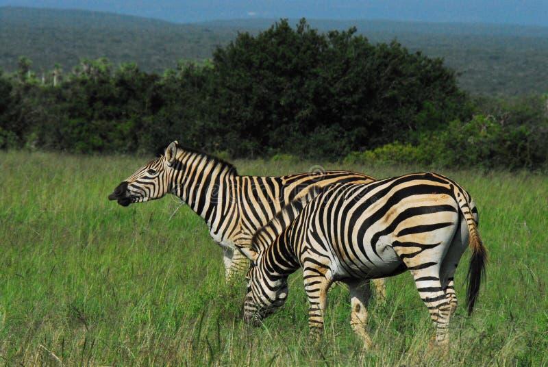 非洲享受天的两匹野生斑马 免版税库存照片