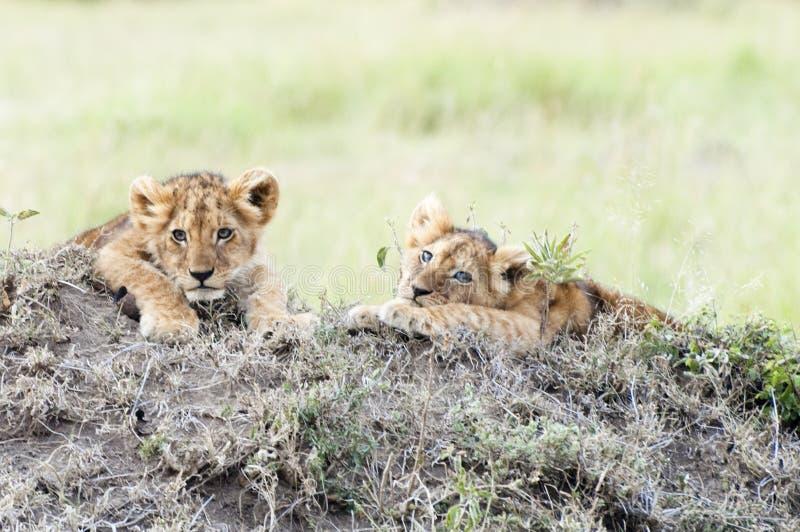 非洲人当幼童军狮子 免版税库存照片