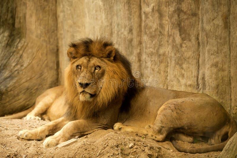 非洲人接近的狮子 库存图片