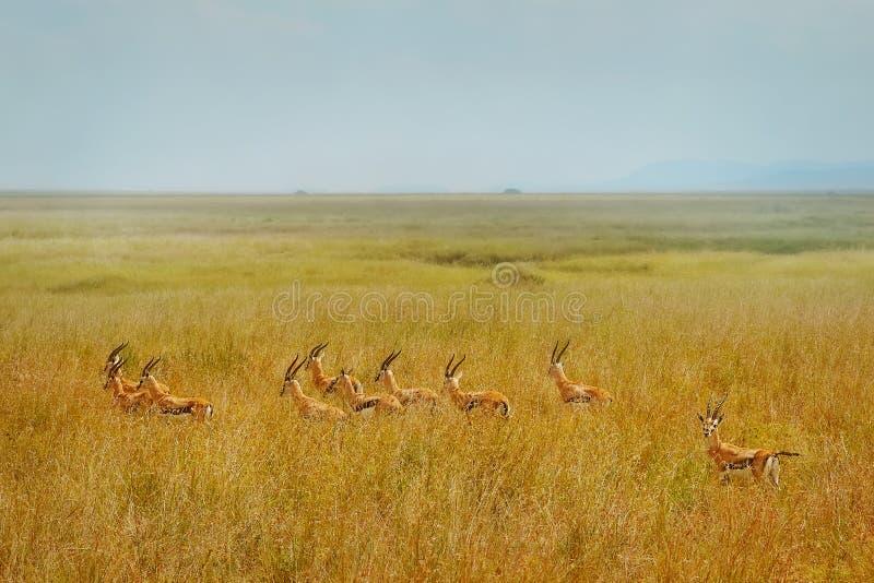 非洲人汤姆生` s瞪羚 图库摄影