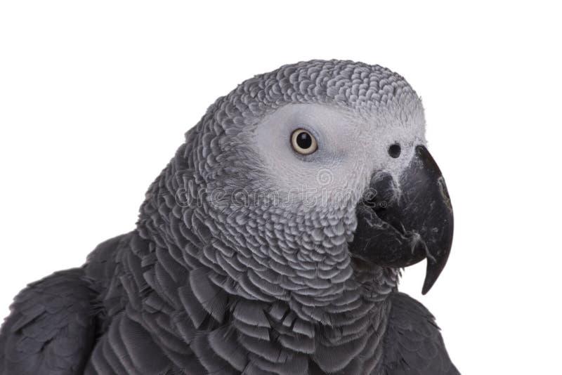 非洲人般的灰色题头鹦鹉 免版税图库摄影