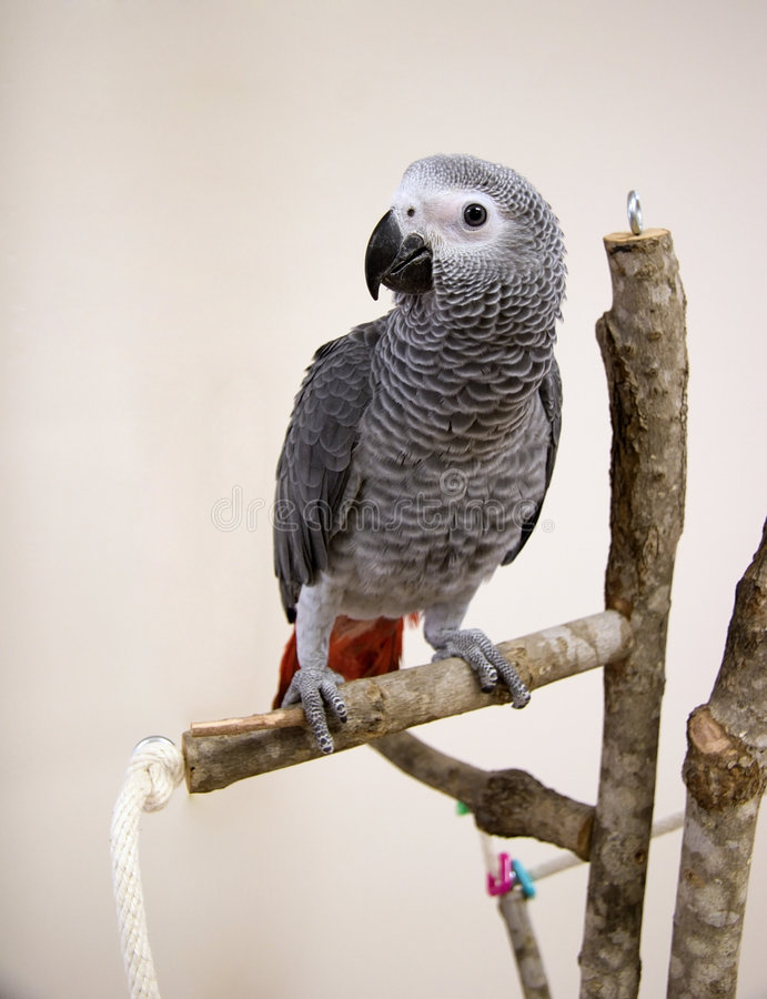 非洲人般的灰色鹦鹉年轻人 库存照片