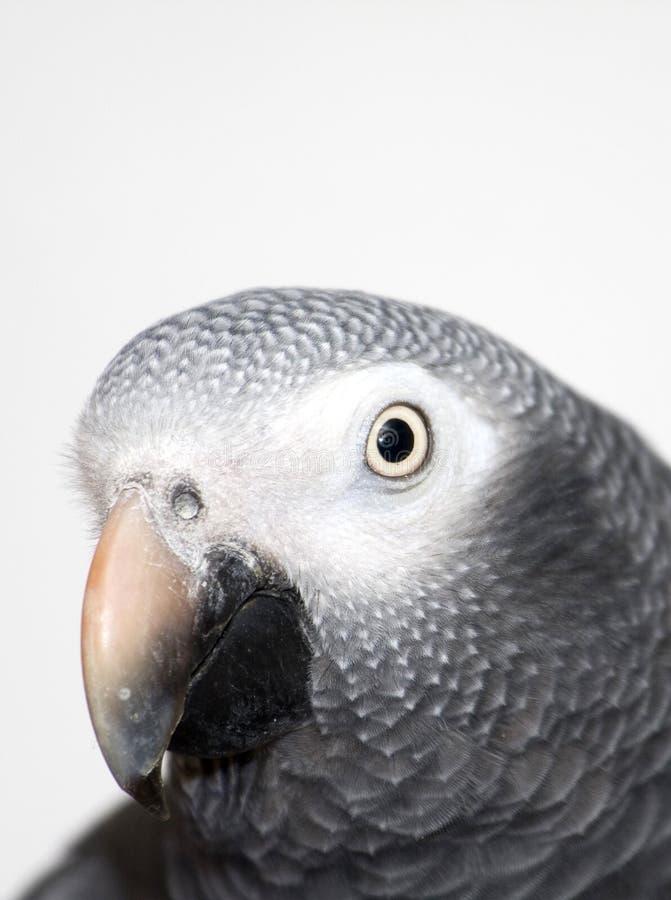 非洲人般的灰色鹦鹉特写镜头 库存照片