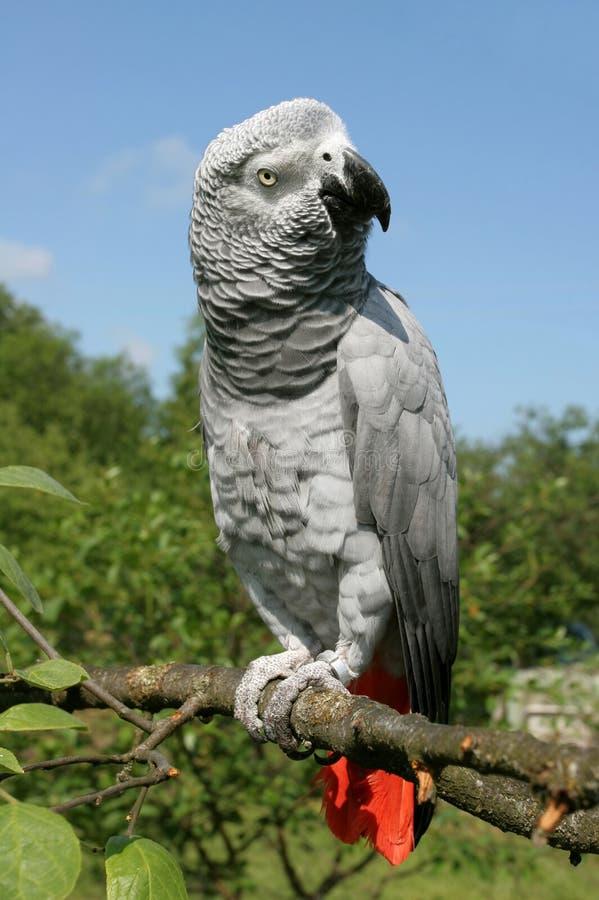 非洲人般的灰色鹦鹉 免版税库存照片