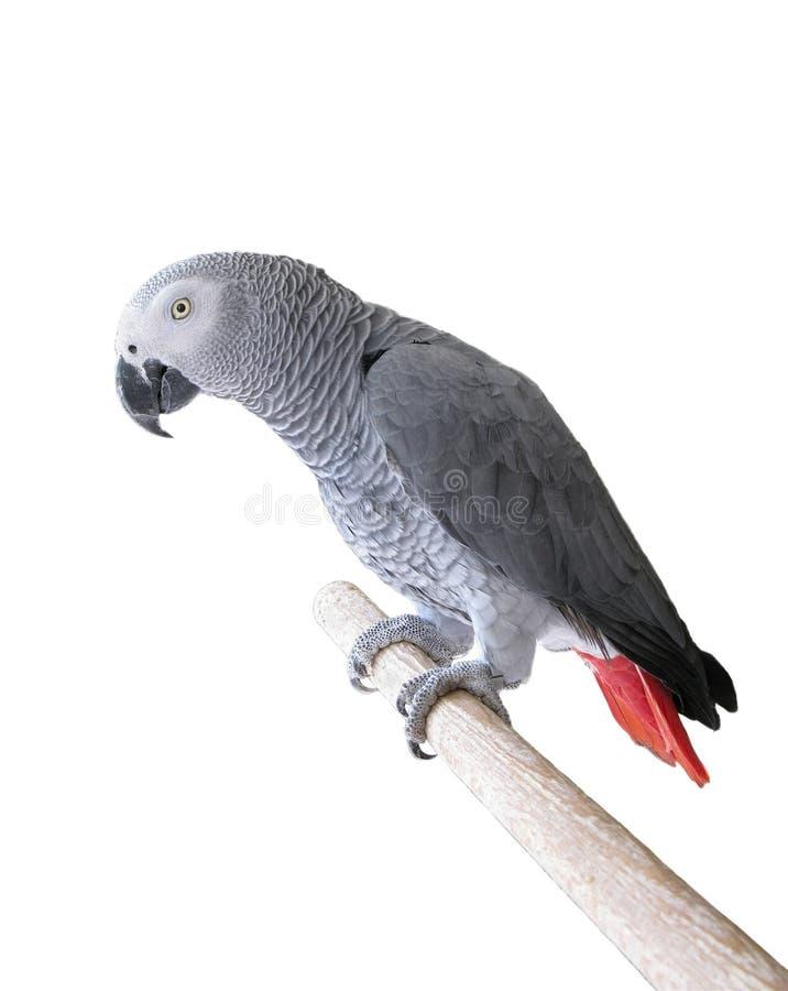 非洲人般的灰色鹦鹉