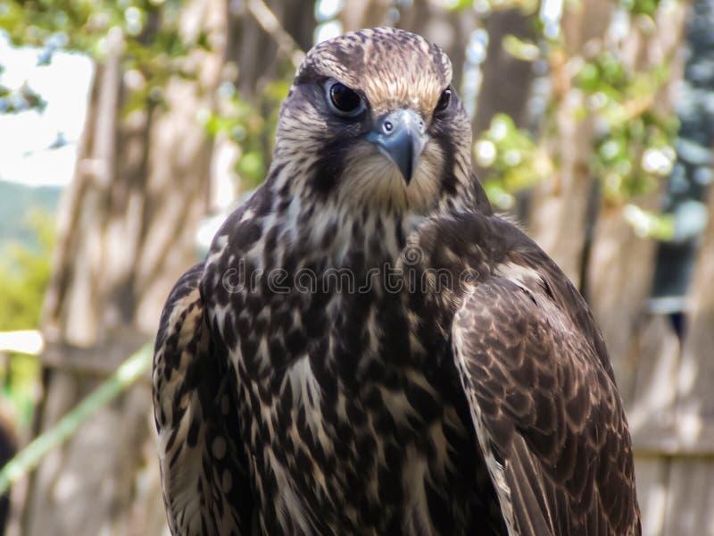 非洲人Lanner猎鹰 免版税库存照片