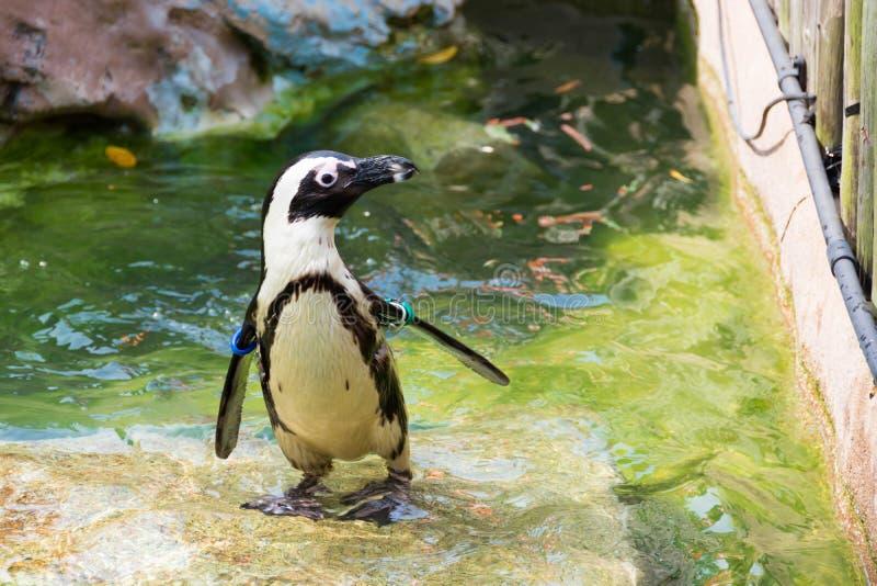 非洲企鹅、亦称公驴企鹅和黑色 免版税图库摄影