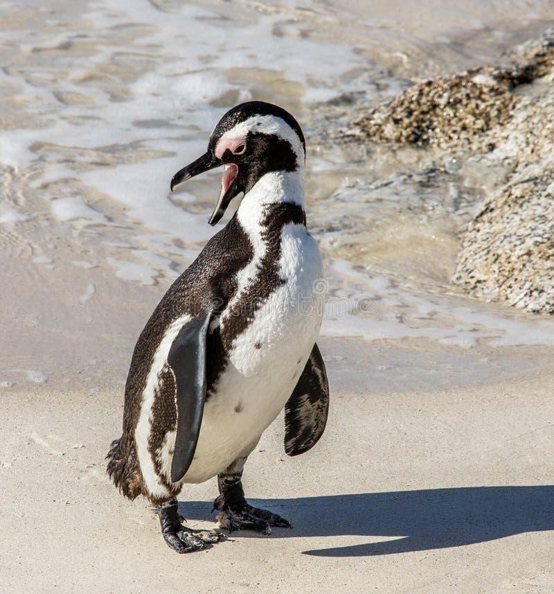 非洲企鹅在一个滑稽的姿势的一个沙滩站立 西蒙` s镇 冰砾海滩 非洲著名kanonkop山临近美丽如画的南春天葡萄园 免版税库存图片