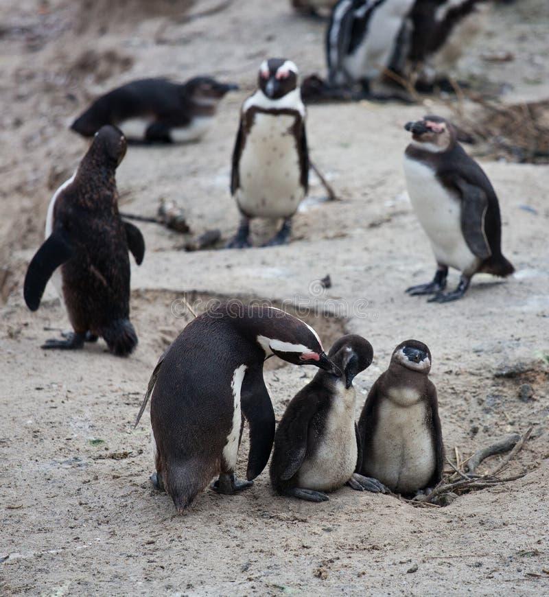 非洲企鹅家庭:有两新出生的婴孩chickes的母亲 开普敦 非洲著名kanonkop山临近美丽如画的南春天葡萄园 免版税库存照片