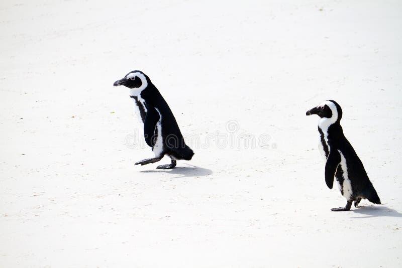 非洲企鹅 免版税库存图片