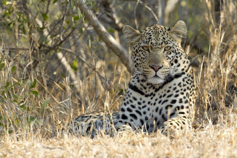 非洲休息豹子的男南部 免版税库存图片