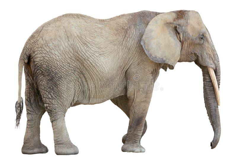 非洲保险开关大象 免版税图库摄影