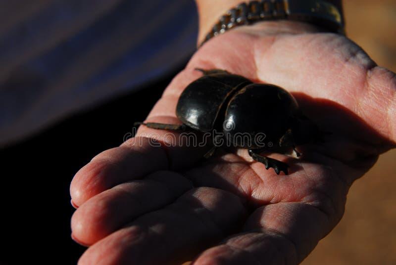 非洲关闭在一只人的手上的一只巨大的活甲虫 免版税库存照片