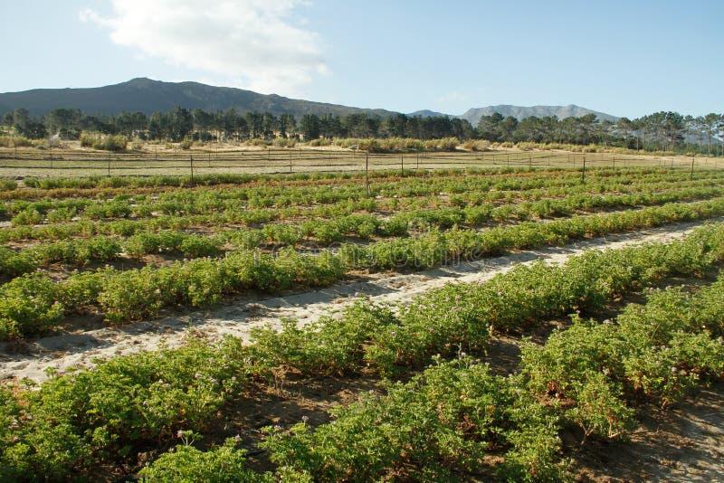 非洲农厂天竺葵种植南部 图库摄影