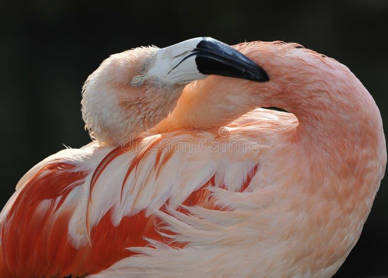 非洲加勒比关闭羽毛火鸟  免版税库存图片