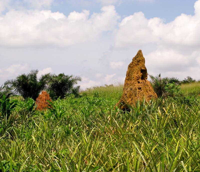 非洲加纳西方土墩的白蚁 免版税库存照片