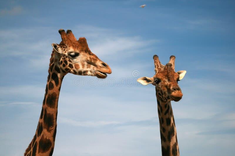 非洲动物baringo长颈鹿 免版税库存照片